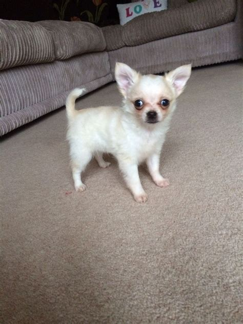 chihuahua puppies for sale gorgeous chihuahua puppy for sale pontyclun