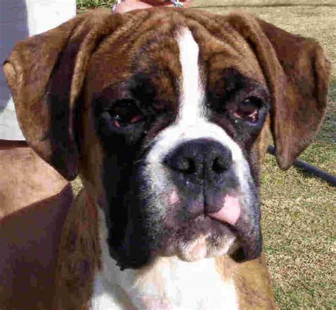 boxer puppies colorado boxers boxer breeders boxer puppies in south africa