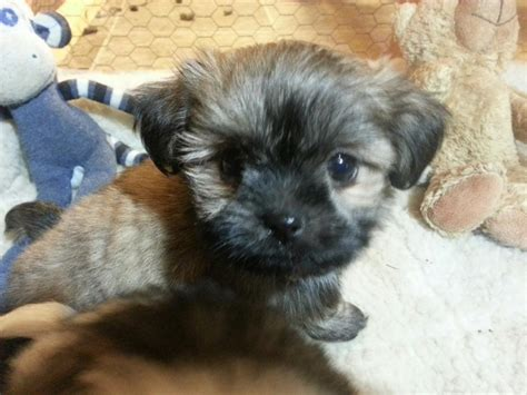 shih tzu puppies for sale winnipeg bichon shih tzu puppies for sale other south saskatchewan location