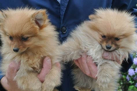 types of pomeranian dogs pomeranian kennels dogs for free breeds picture