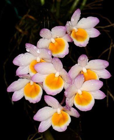 garden orchids and roses auf pinterest orchideen dfte 490 besten dendrobium bilder auf pinterest orchideen