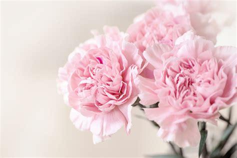 bakgrundsbilder blomma kronblad staenga blomster pion