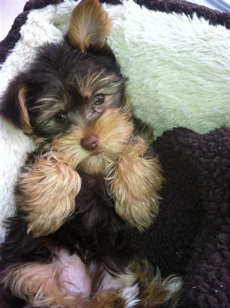 yorkie poodle mix price 200 best images about teacup dogs on yorkie puppies for sale yorkie for