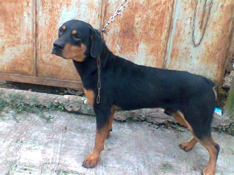 how to a rottweiler to be a guard rottweiler guard pets nigeria