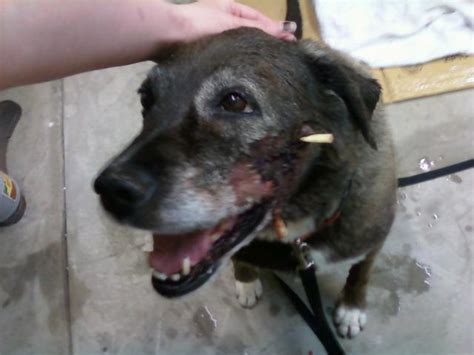 wound care for dogs my s wound care need advice on not getting bit pics