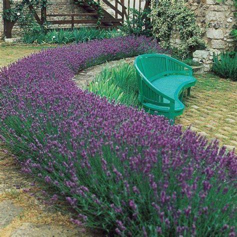 1 Pack Benih Lavender Seed lavandula angustifolia lavender pack of 10 plants