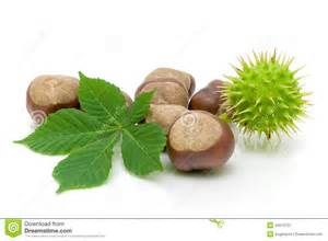 fruit and chestnut leaf on a white background royalty free