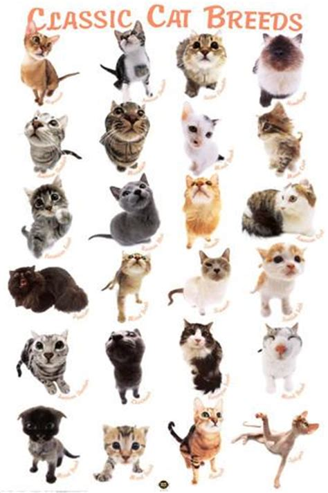 types of cats cat breeds posters at allposters