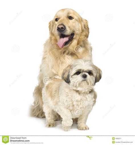 shih tzu golden retriever mix mix pomeranian and golden retriever breeds picture