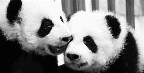 imagenes gif de haciendo el amor gifs de pandas haciendo cosas im 225 genes taringa