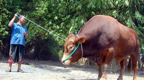 Daftar Bibit Sapi Limosin daftar negara penghasil daging sapi terbesar di dunia