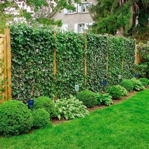 amazing privacy plants     neighbors