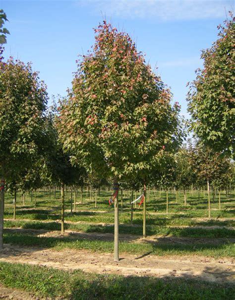 karpick maple tree maple gammon s garden center landscape nursery