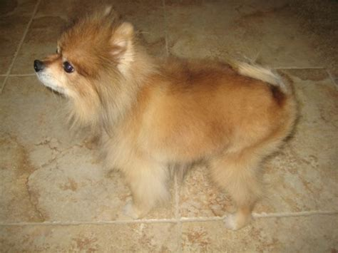 how does it take for pomeranian hair to grow how a vegan diet saved this s