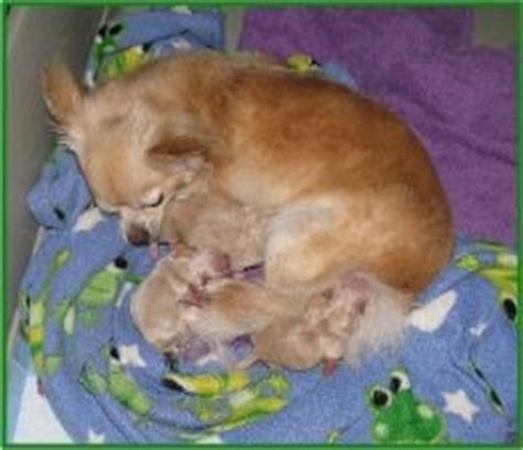 how many puppies do chihuahuas the time chihuahua pregnancy a detailed care guidelines