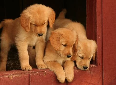 3 golden retrievers 3 golden retriever puppies glorious goldies