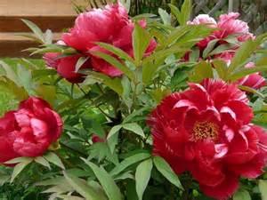 peonies cultivate garden gift