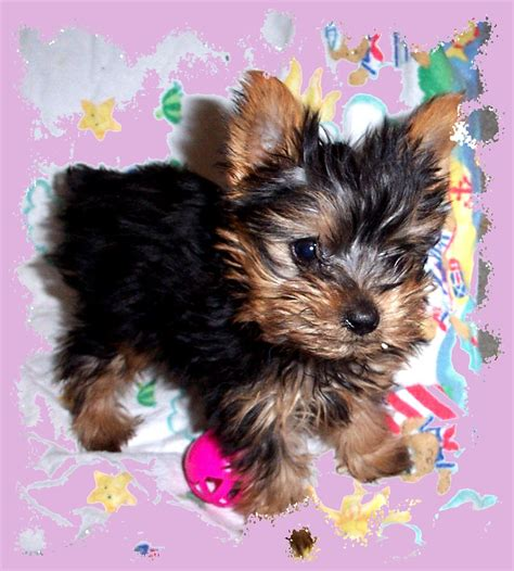 free yorkie puppies in tn dr yorkies ridenhour yorkie puppies akc yorkies yorkie puppies for sale