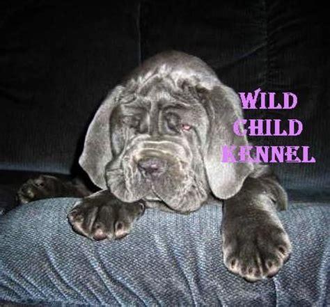neapolitan mastiff puppies for adoption neapolitan mastiff puppies for sale adoption from tennessee adpost classifieds