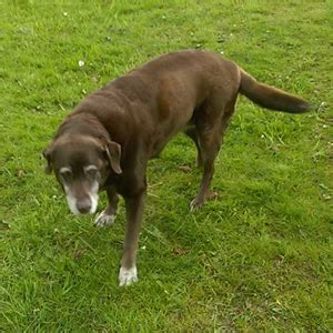 chocolate lab puppies oregon bailey our chocolate labrador retriever dogs and advice