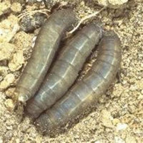 larven im garten sch 228 dlinge im rasen nachhaltig bek 228 mpfen e nema
