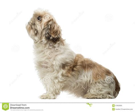 shih tzu sitting side view of a shih tzu sitting looking up 10 years royalty free stock photo
