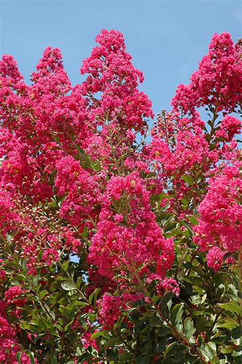 Landscape Supply Myrtle Tuskegee Crapemyrtle Lagerstroemia Tuskegee In