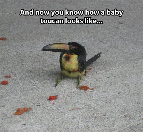 Cute Baby Animal Memes - baby toucan cute animals know your meme