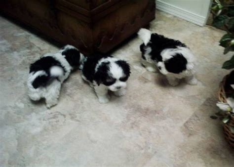black maltese puppies 175 best images about s h i h t z u on maltese shih tzu dogs and