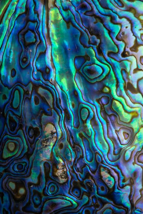 paua shell is related to the abalone shell it is found