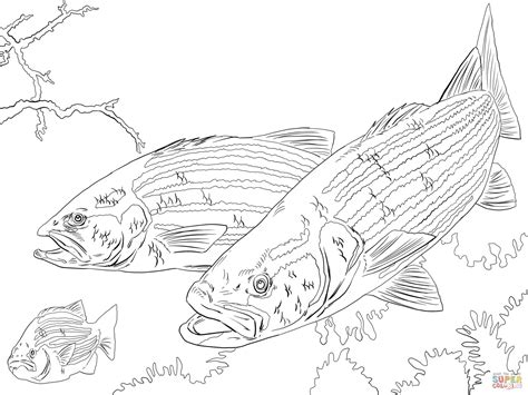 coloring pages rockfish striped bass coloring online super coloring