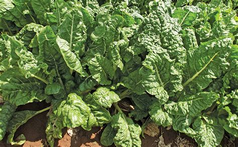 spinach variants farmers weekly