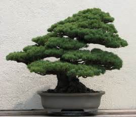 file japanese white pine unknown 2007 jpg wikimedia commons