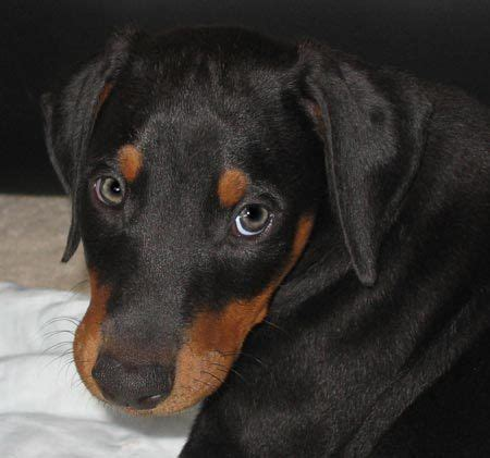 are rottweilers running partners 263 best images about my doggie 3 on beautiful dogs doberman