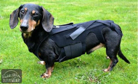 7 Health Conditions That Hit Dogs by How To Help A With Back Problems