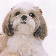 shih tzu dwarfism shirley in woodland ca a havanese lhasa apso mix she has been
