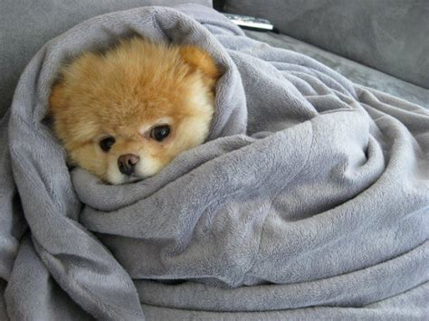 puppy blankets puppy is cosy in blanket teh
