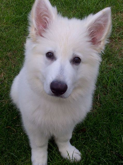 berger blanc suisse puppies 17 images about berger blanc suisse on pastor care and the white