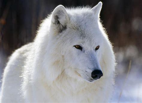 imagenes lobo blanco para los que les gusta el frio taringa