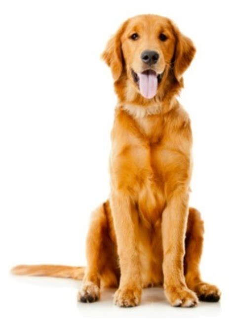 what is the average of a golden retriever golden retriever breed information and photos thriftyfun