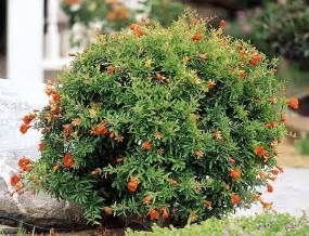 Ideas For Remodeling Bathroom by Dwarf Pomegranate Punica Granatum Nana