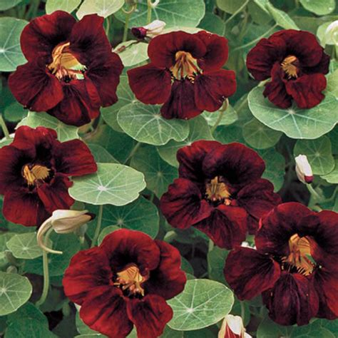 velvet garden flowers black velvet nasturtium flower seed savers exchange