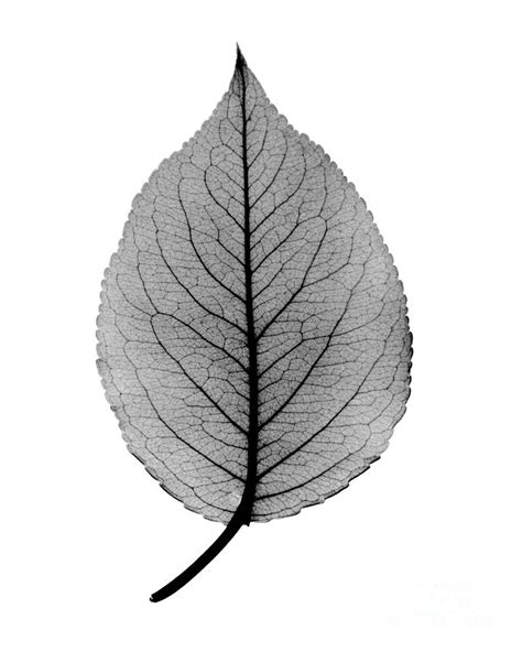x ray of pear leaf photograph by bert myers