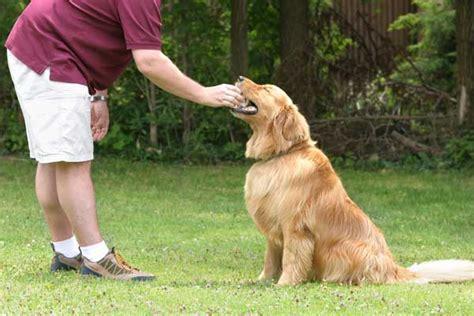 are golden retrievers intelligent golden retriever temperament pets world