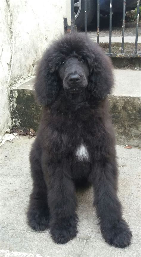 black poodle puppies black standard poodle puppy neath neath port talbot pets4homes