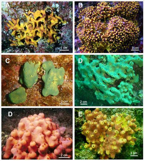 imagenes de animales poriferos las esponjas filtros naturales que limpian el agua y