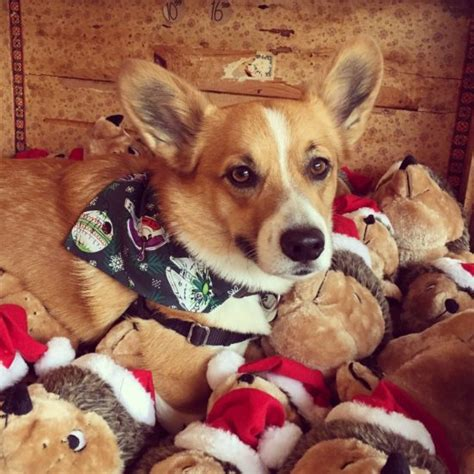 merry morty christmas  daily corgi