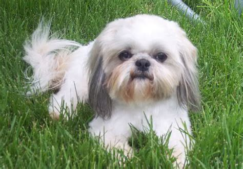 shih tzu health care blind and deaf shih tzu how to take care of them
