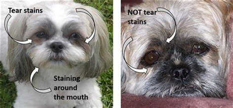 shih tzu guide adorable shih tzu hair styles shih tzu info u0026 pictures of shih tzu breeds petmd