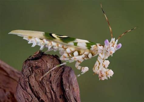 Tas Mantois mantis religiosa fotos caracter 237 sticas tipos y